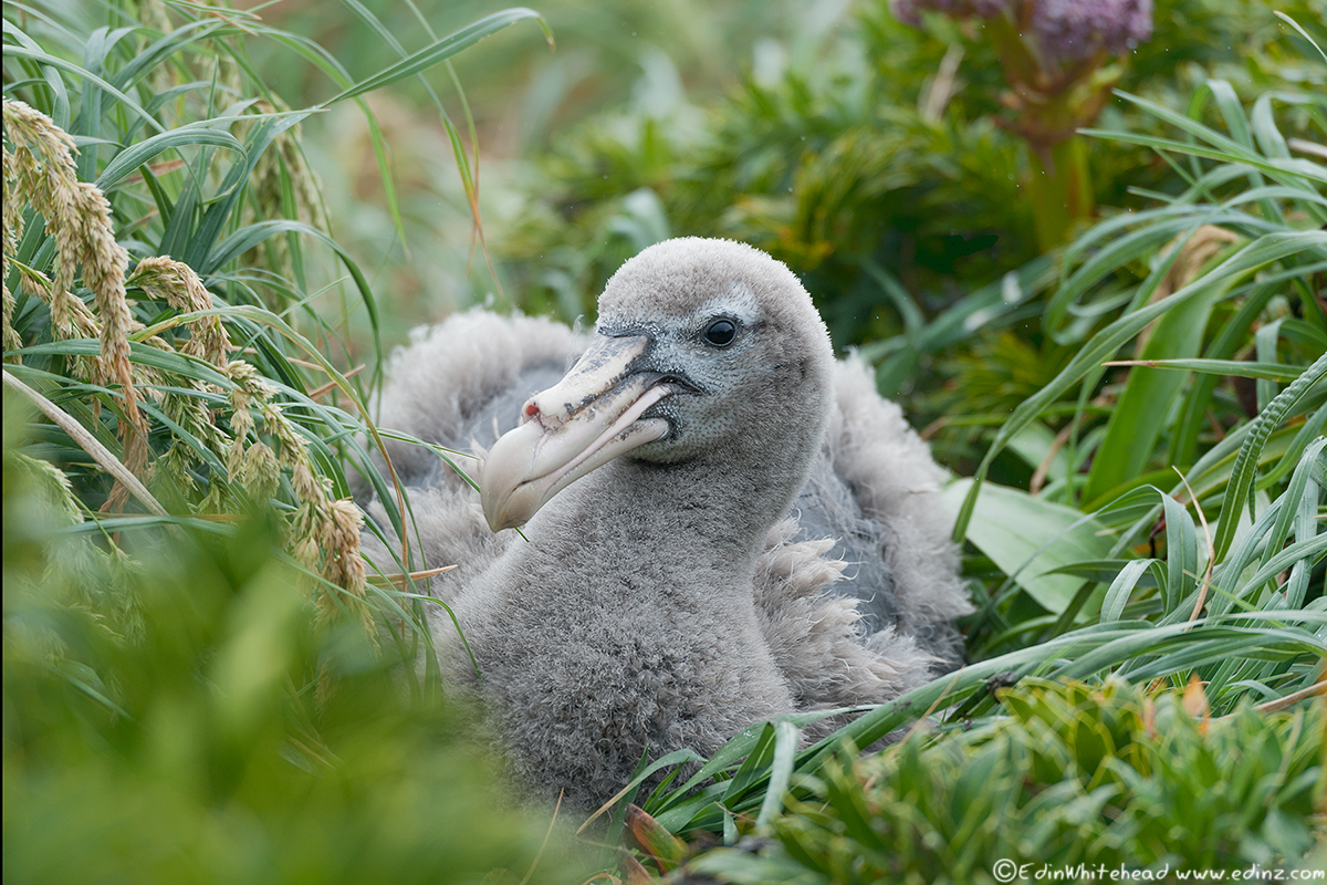 ngpetrel_chick_enderby_tw7_4528-edit6x4web.