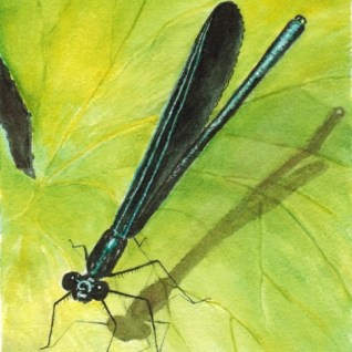 Calopteryx maculata Ebony Jewelwing male watercolor