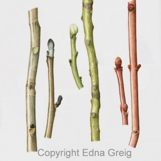 Twigs and Buds Copyright Edna Greig