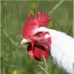 poulet-de-bresse
