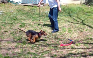 A black and tan hound mix dog chases a red toy attached to a flirt pole, a whip-like stick that you can attach a toy to and whirl it around