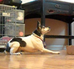 A small black and white rat terrier is almost lying down, but her chest and elbows are not touching the floor