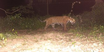 Reciben denuncias de un jaguar que anda suelto por la G77