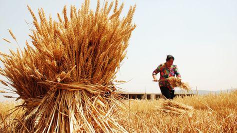 Cultivo de trigo en Bolivia