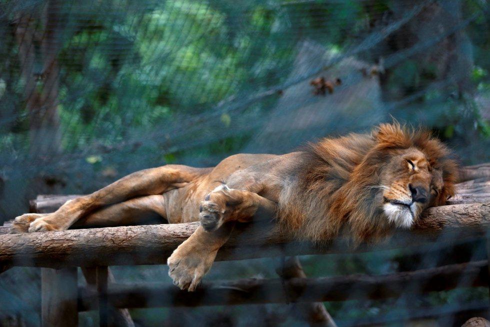 Centenares de animales se mueren de hambre debido a la grave falta de recursos que ha producido la crisis económica en Venezuela. En la imagen, un león duerme dentro de una jaula del zoo Caricuao de Caracas, el 12 de julio de 2016.