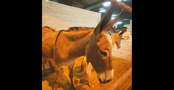 Ejemplares cotizados los conocedores de animales pagan hasta $us 25.000 por cada unidad