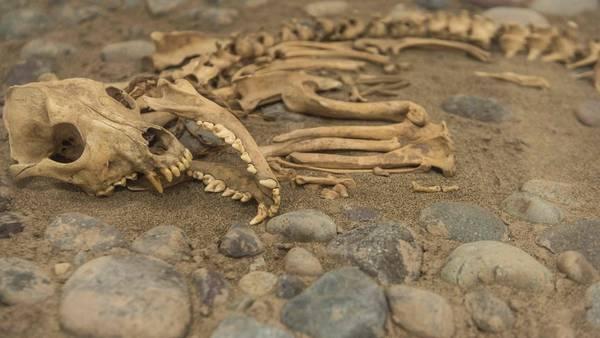 Restos hallados en un cementerio prehispánico bajo el zoológico de Lima. / AFP