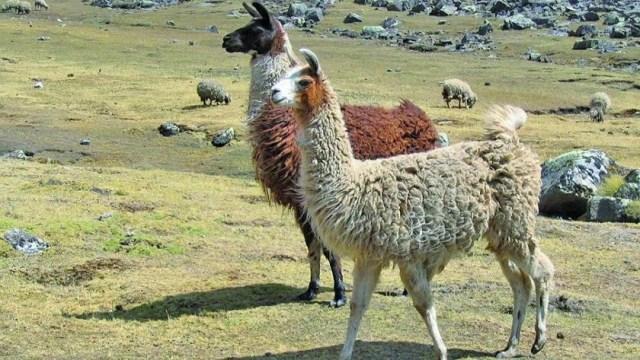 camelido