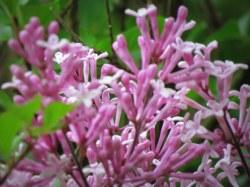 Small Of Dwarf Korean Lilac