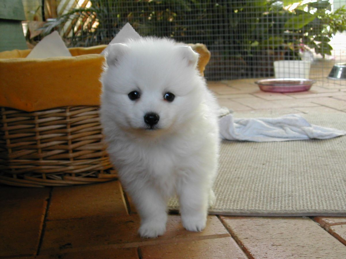 Astonishing Dogs Japanese Spitz Japanese Spitz Health Brown Spots Names One Black Spot Dogs S Names bark post Names For White Dogs
