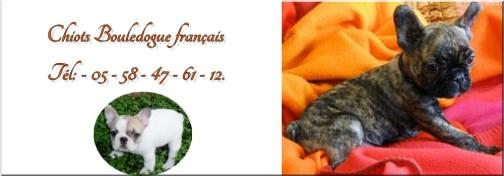 Elevage bouledogue français d'aquitaine
