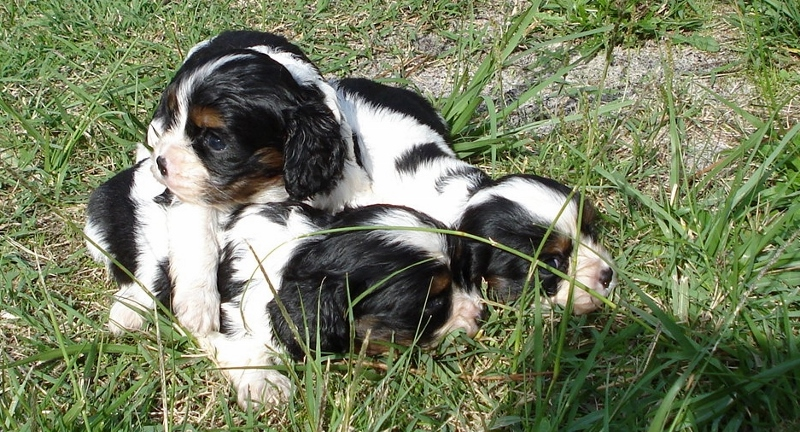 Photos chiots cavalier king charles | Elevage chiens et