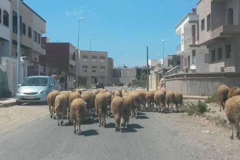 El-Jadida: Ruralisation d'une ville