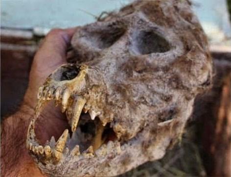 skullwerewol1