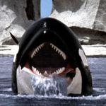 Καταρρίπτεται – Φάλαινα ΟΡΚΑ ορμάει και κατασπαράζει αμέριμνο λουόμενο στην παραλία! (βίντεο)