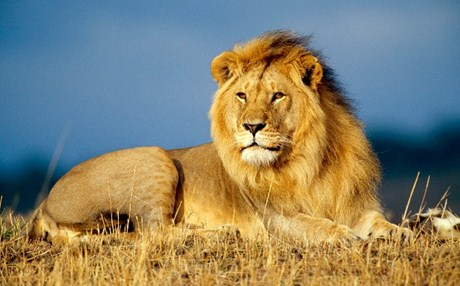 african_lion_king-wide_b2