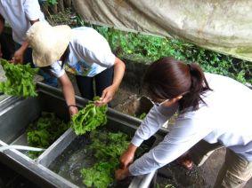 Washing the lettuce