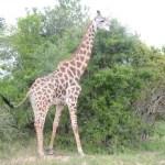 Fotos Parque Kruger Sudáfrica, jirafa