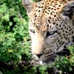 Fotos Parque Kruger Sudáfrica, leopardo acercándose