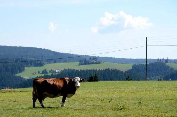 Vaca en la Selva Negra