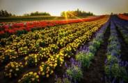 Hokkaido-Field-of-Flowers