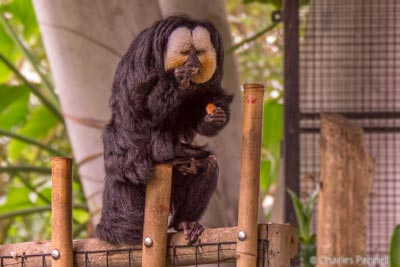 A Saki Monkey nibbles on fruit in the Rainforest Pyramid
