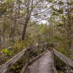 Pygmy Forest Boardwalk at Van Damme State Park