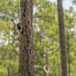 The red-cockaded woodpecker on the Upland Discovery Trail