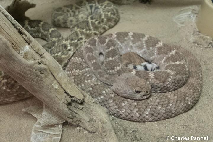 Western Diamondback Rattlesnake at the American International Rattlesnake Museum