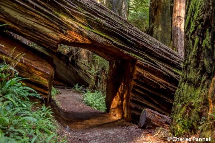Prairie Creek Foothill Trail in Prairie Creek Redwoods State Park