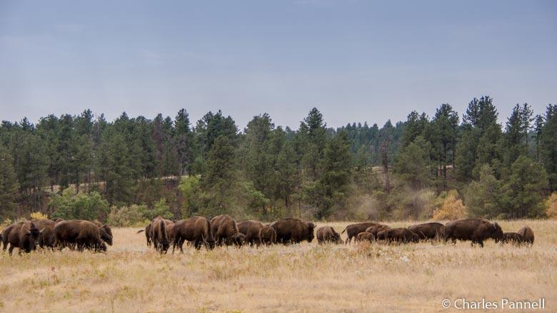 Bison in Custer State Park, South Dakota