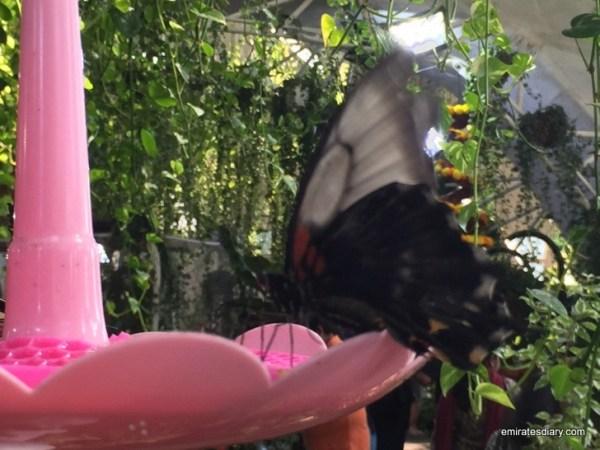 40-butterfly-garden-dubai-pictures-2015-emiratesdiary-040