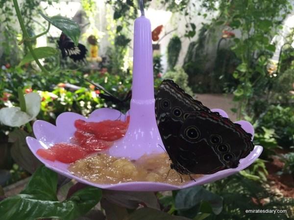 66-butterfly-garden-dubai-pictures-2015-emiratesdiary-066
