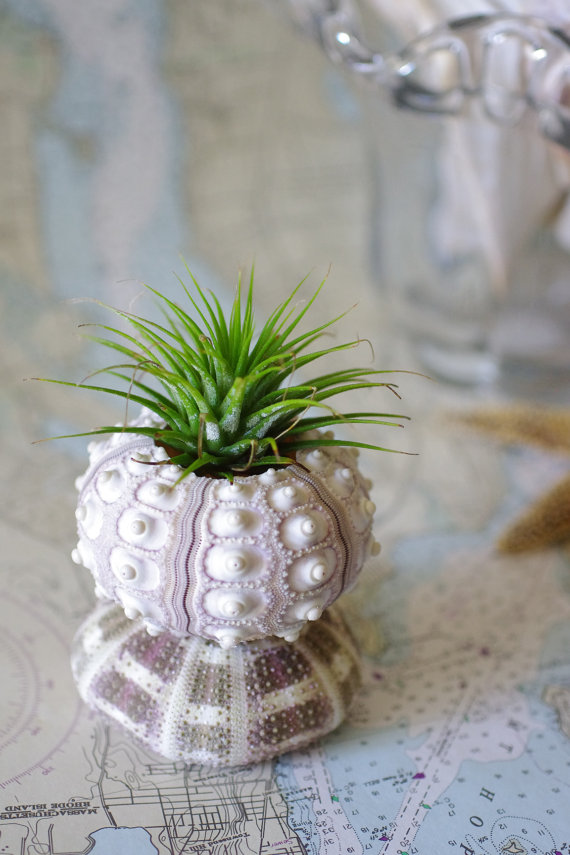 10 Beach Wedding Centerpieces via EmmalineBride.com - sea urchin air plant by By The Seashore