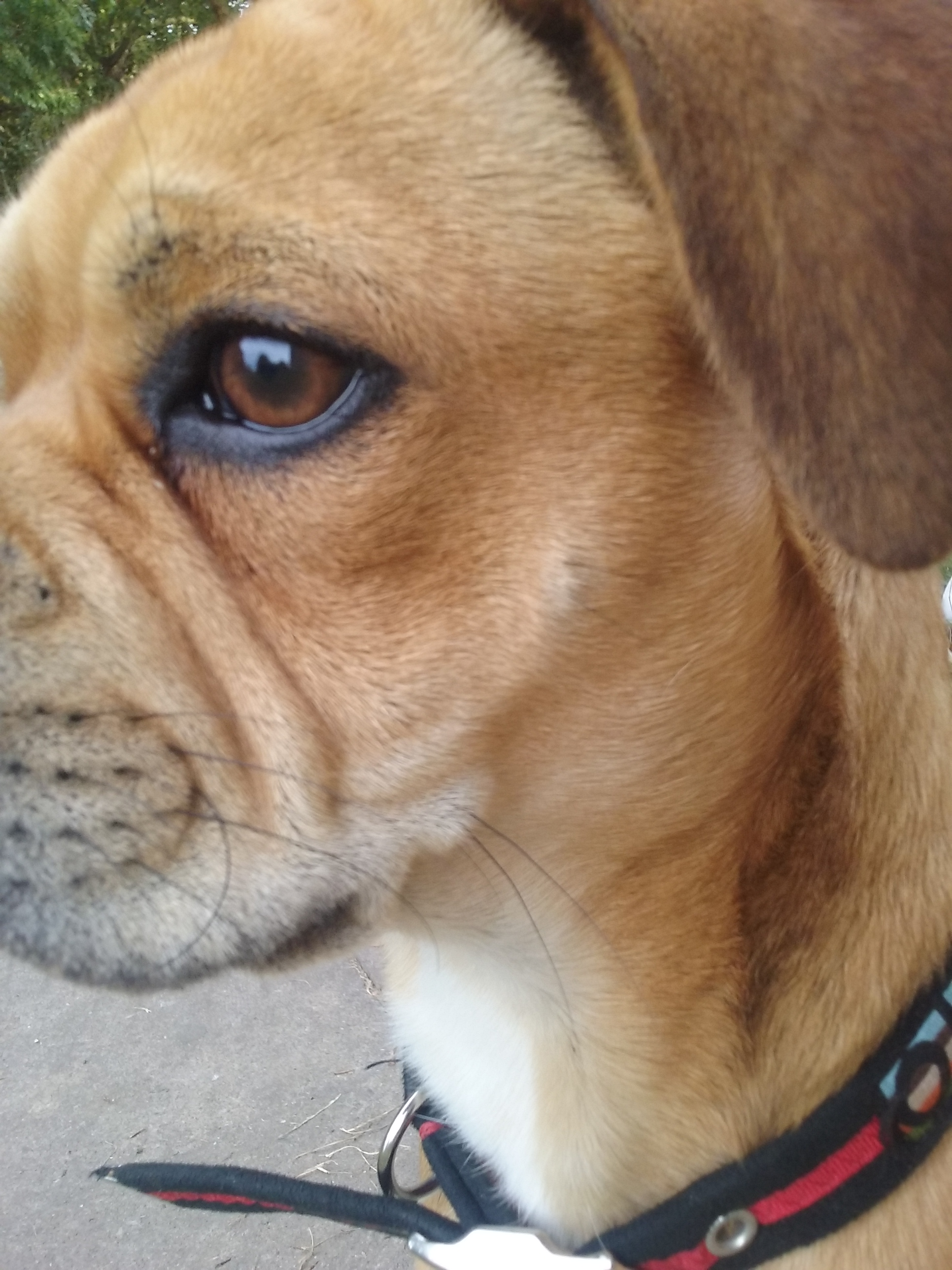 Fullsize Of Boston Terrier Pug Mix