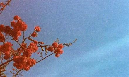 Gloriously grainy blossom burst – Kodak Gold 400 (110)