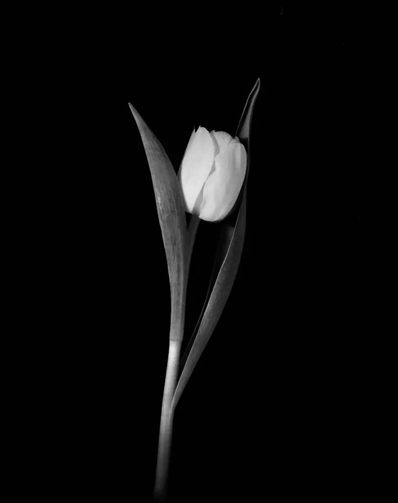 Still life tulip