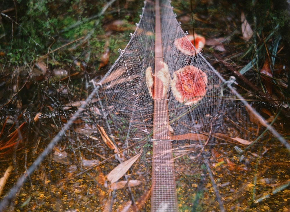 Tasmania - Travelogue - Accidental double exposure of some fungi and a suspension bridge on a trail in Franklin-Gordon Wild Rivers National Park.