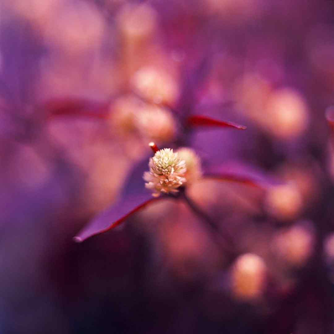 Spring buds #01 - Shot on Kodak EKTACHROME 100VS (E100VS) at EI 200. Color reversal (slide) film shot as 6x6. Hasselblad 32E. Push processed 1-stop.