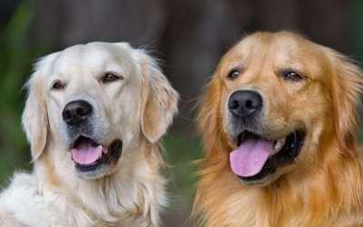 σκύλος σκυλιά ζευγάρι