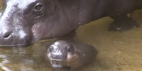 Watch!-Pygmy-Hippo-Swims-In-The-Big-Pool-