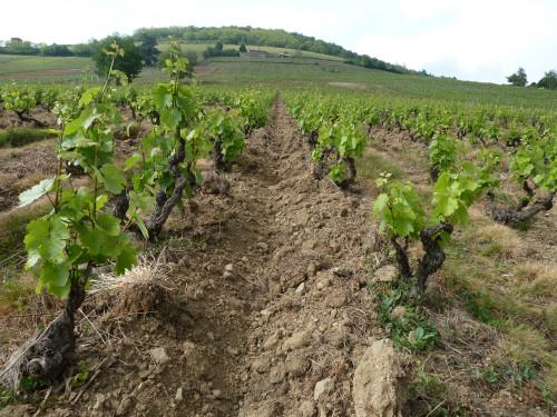 The vineyards at Sanvers et Cotton.