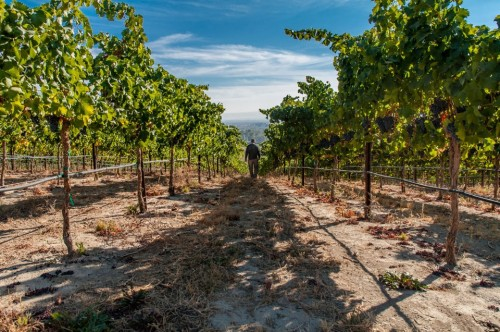 sean in the vineyard