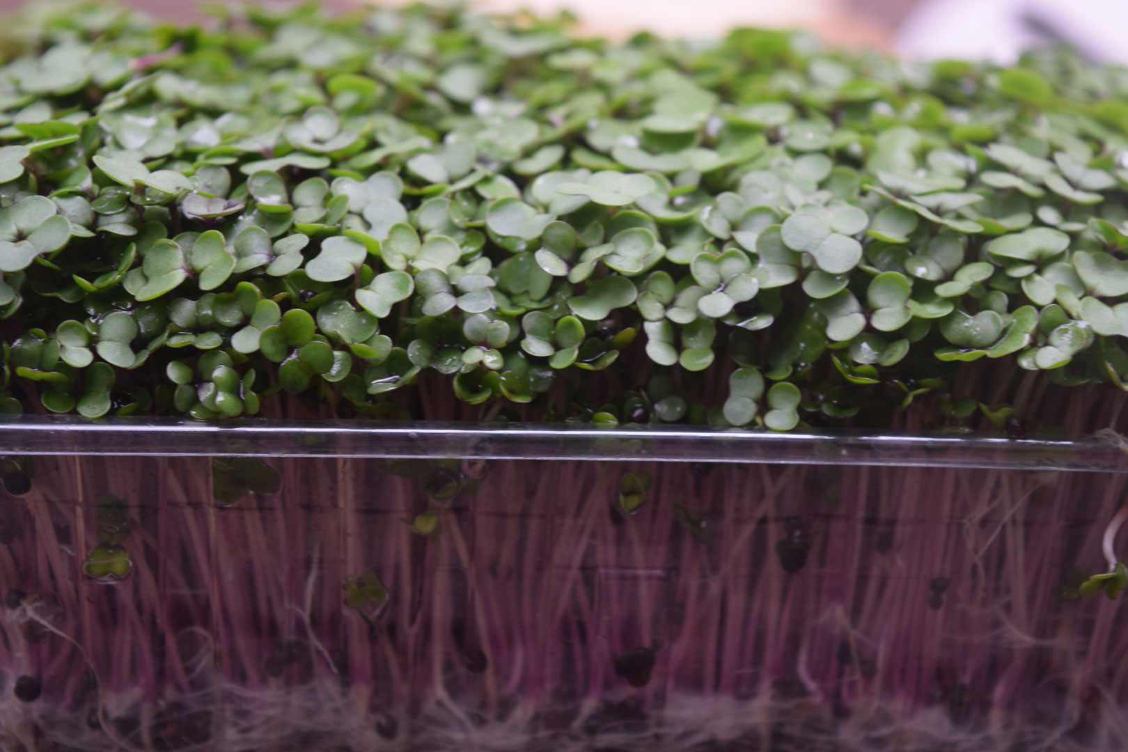 KALE-SPROUTS-2