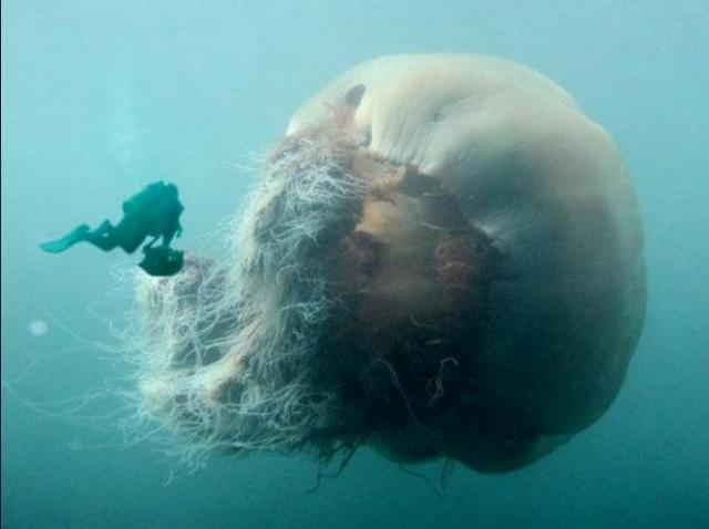 jellyfish cyanea arctica