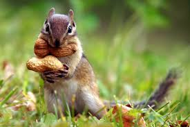 Blog_Squirrels Storing Nuts