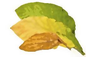 tobacco_leaf