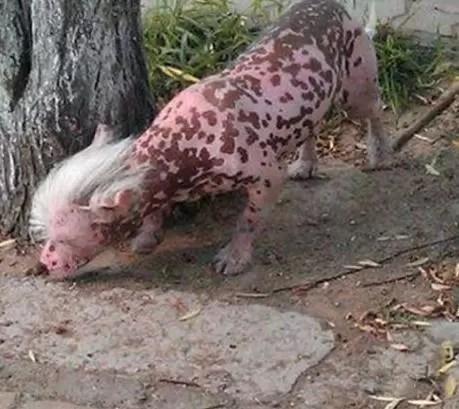 animal raro