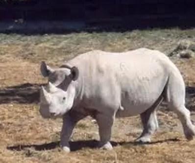 Rinocernte