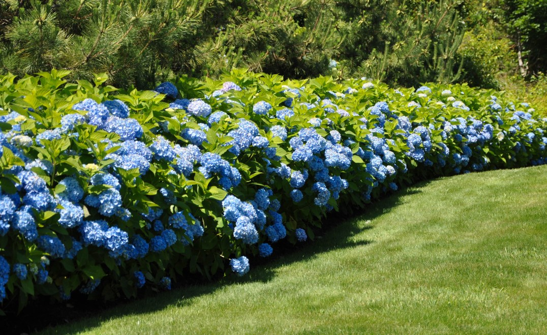 Hydrangea in the Cape